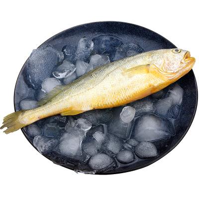 1斤一条野生大黄花鱼新鲜海鲜水产鲜活东小黄花鱼黄鱼鲞生鲜冷冻海鲜水产鲜活海鱼深海捕捞500g