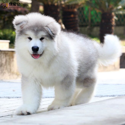 優寵它 活體狗狗 活體阿拉斯加幼犬 純種狗狗 阿拉斯加雪橇犬 雙血統巨型阿拉 寵物狗 大骨架賽級熊版健康售后保障