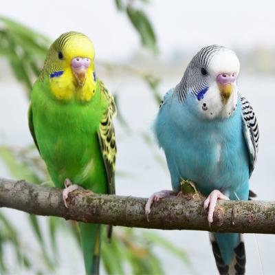 寵弗 鳥虎皮活鳥小鳥云斑化手養鳥玄風說話寵物鳥活物