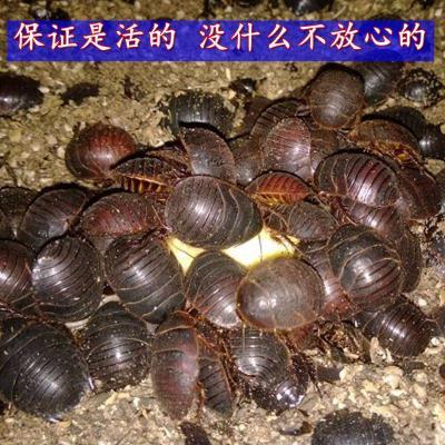 宠弗活土元土元虫种卵土鳖虫地鳖子地鳖虫材土鳖野生繁殖