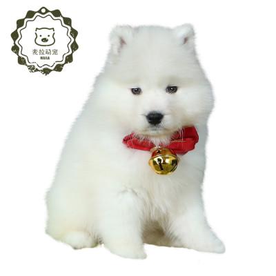 豆樂奇薩摩耶寵物狗幼犬 純種微笑天使熊版薩摩耶 雪橇犬幼犬 薩摩耶家養寵物狗
