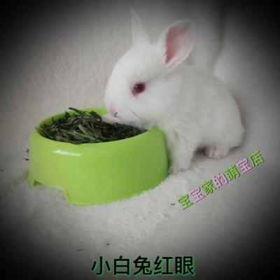 宠弗宠物兔子长不大纯种垂耳兔幼崽小侏儒茶杯兔猫猫兔小白兔便宜 单身 灰白垂耳