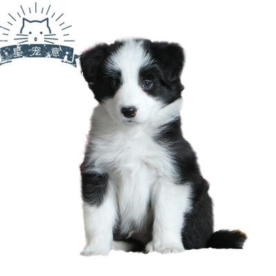 边境牧羊犬幼犬纯种宠物狗高智商中型小狗狗三白七通陨石边牧
