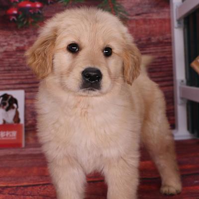 金毛犬大型犬幼犬公 纯种宠物狗狗金毛幼犬幼崽 大型犬小型犬 宠物级 血统级 公母均有