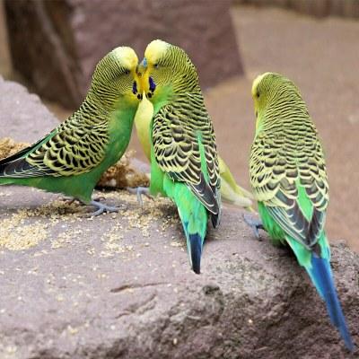 马特维(matewei)宠物活体虎皮鹦鹉宠物手养小鸟玄凤鹦鹉说话鸟绿色虎皮2只(一公一母)