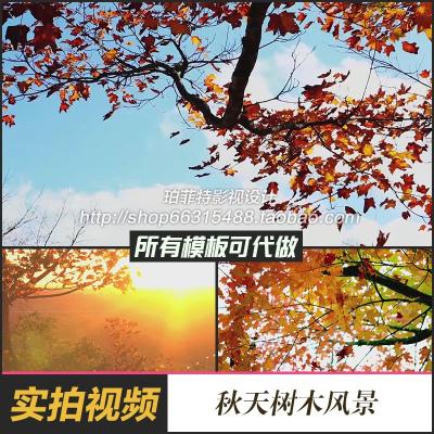 秋之韵秋天树叶大树落叶慢动作枫叶高清实拍视频素材