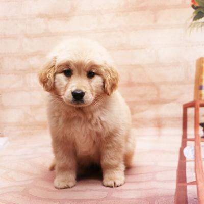 多多名宠 金毛犬 幼犬 宠物狗狗金毛幼犬 纯种大头金毛 中大型犬幼崽