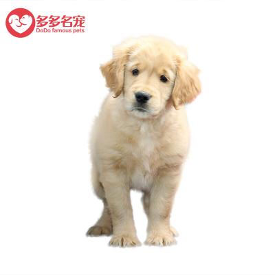 【特价】纯种金毛犬 大型犬 宠物狗狗 大头金毛幼犬 活体幼崽