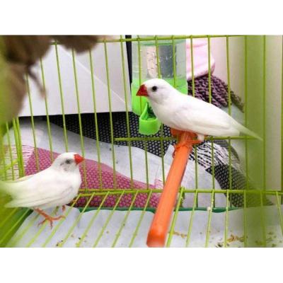 寵弗 活鳥白灰白珍珠灰珍珠觀賞鳥活物