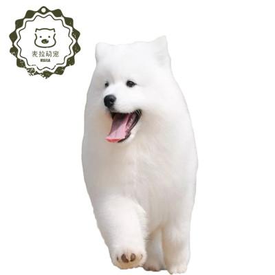 【定金】純種薩摩耶幼犬 微笑天使薩摩耶犬 小狗雪橇犬 高貴文雅寵物狗幼犬
