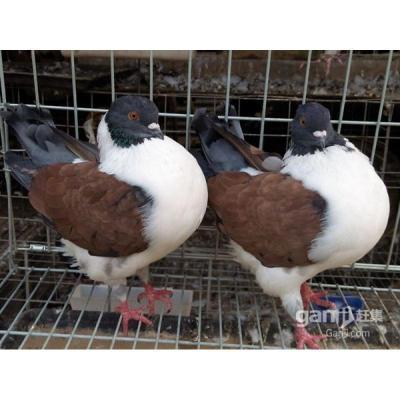 观赏鸽元宝鸽子一对青年鸽公斤肉鸽元宝种鸽成年二斤左右 摩登娜青年一对配好
