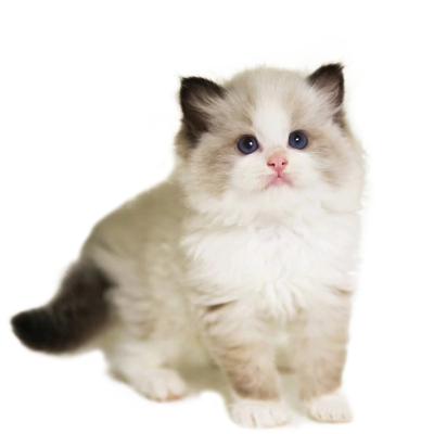 喜喵国际名猫 布偶猫幼猫猫活体 仙女猫宠物猫活体 猫咪活体 品种齐全 纯种宠物猫 幼猫幼崽宠物猫咪活体