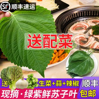 1份東北鮮族新鮮蘇子葉韓國烤肉葉綠色蔬菜嫩葉紫蘇葉約90片