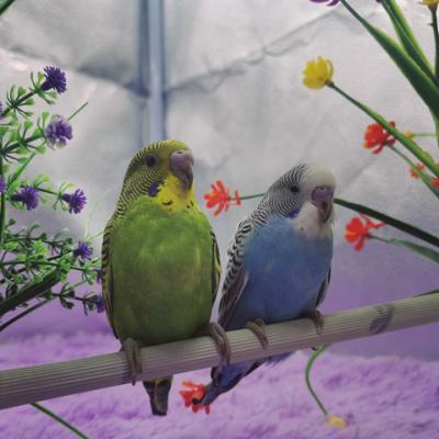 享弗 鸟鹦鹉活宠物鸟体虎皮化情侣鹦鹉云斑鹦鹉鸟玄凤说话鸟 绿皮+蓝皮(包繁殖)