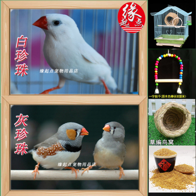 寵弗 活鳥白灰白珍珠灰珍珠觀賞鳥活物可繁殖