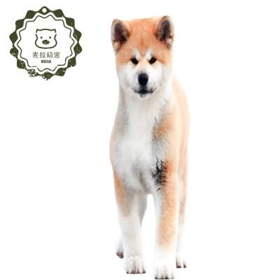 【定金】純種秋田犬 日系柴犬幼犬 日本寵物狗狗 看家犬伴侶犬 溫順身強力壯 勇敢敏銳 有視頻可看